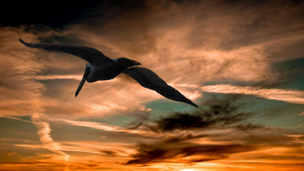 flying pelican full screen wallpaper